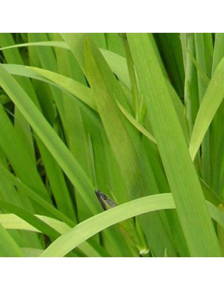 Iris x louisiana Ann Chowning