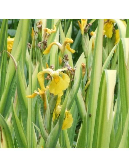 Iris des marais à feuillage panaché