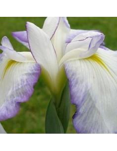 Iris japonais Activity