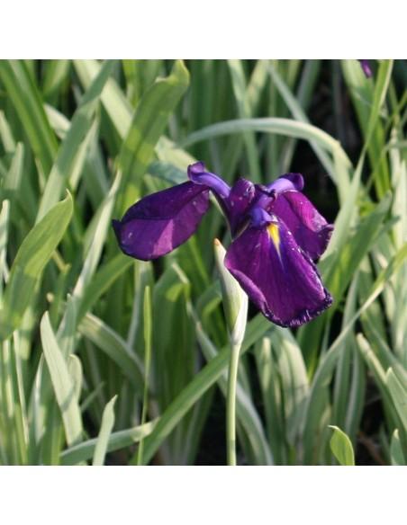 Iris japonais à feuillage panaché
