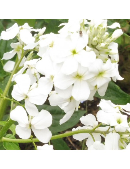 Julienne des jardins blanche