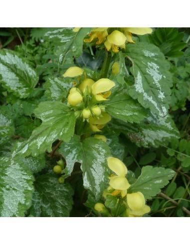 Lamier jaune à feuillage panaché
