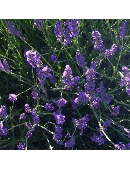 Lavandin de Provence Grosso