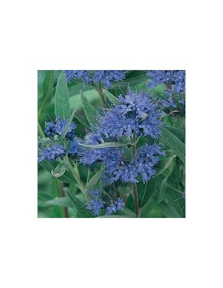 "Spirée bleue ""Heavenly blue"""