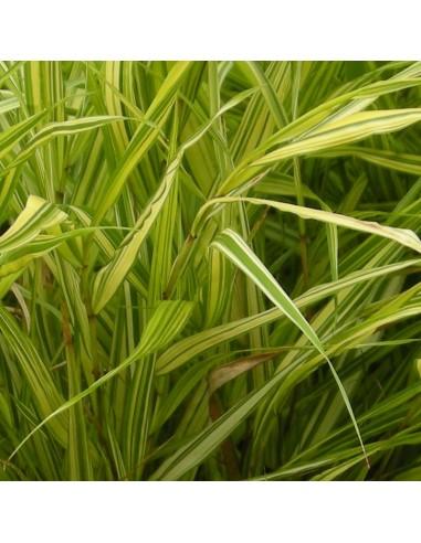 Herbe du Japon Aureola