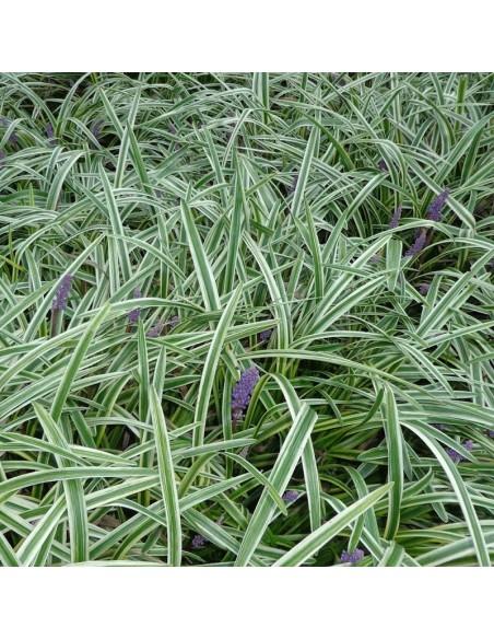 Liriope muscari variegata