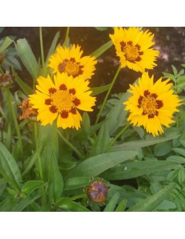Coreopsis grandiflora Sonnenkind