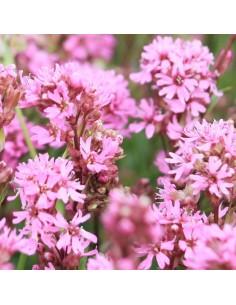 Lychnis viscaria alpina
