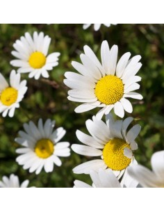 Marguerite commune