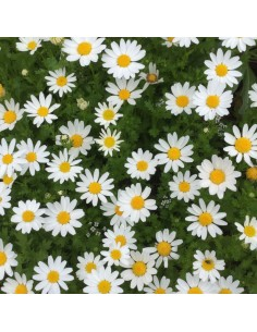 Marguerite Polaris