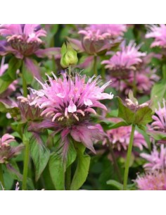 Monarde Beauty of Cobham