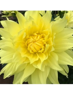 Dahlia cactus Yellow Passion
