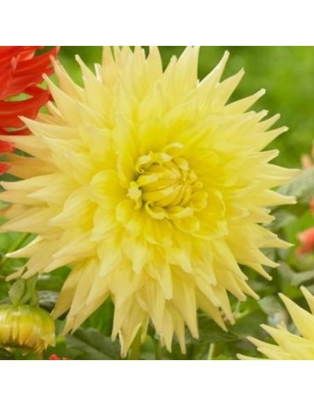 Dahlia cactus Yellow Passion