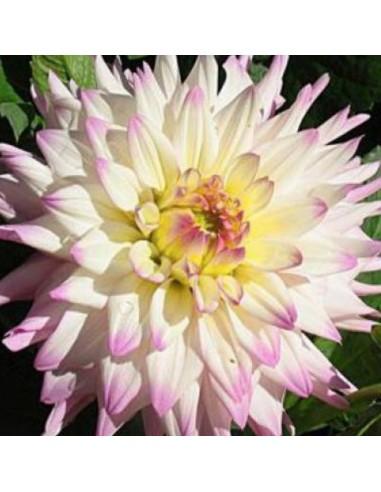 Dahlia cactus Romantique