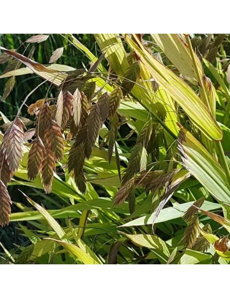 Avoine sauvage - Chasmanthium latifolium