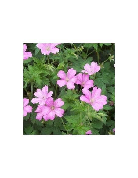 Geranium vivace Rose Clair