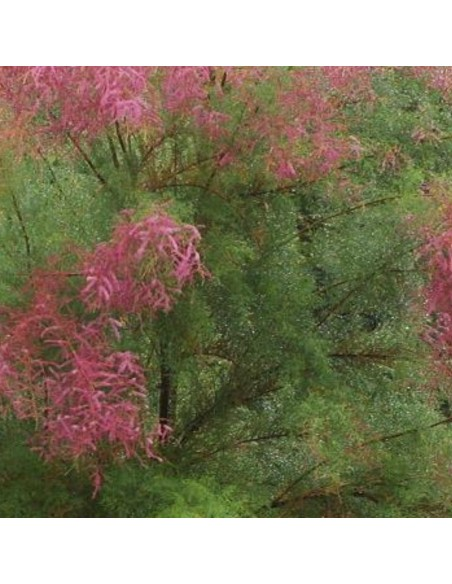 Tamaris d'été pink cascade