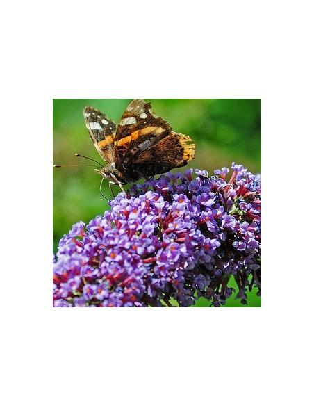 """Arbre à papillons """"Nahno purple"""""""