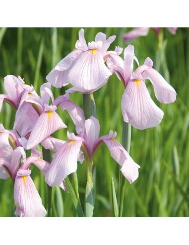 Iris des rives Rose Queen