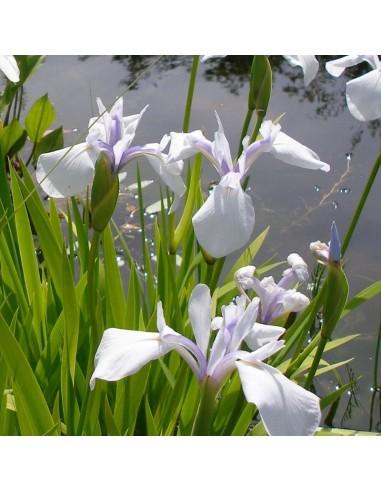 Iris des rives Snow drift