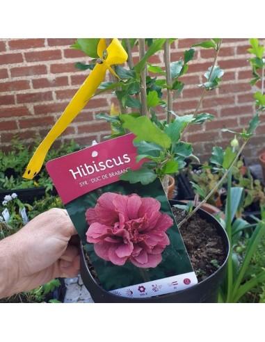 Hibiscus Duc de Brabant