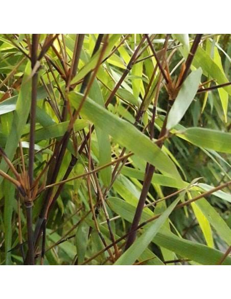 Bambou non traçant Asian Wonder