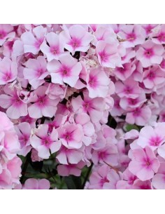 "Phlox paniculata ""Bright eyes"""