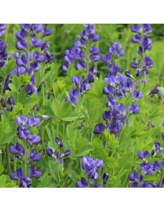 Lupin indigo - Baptisia australis