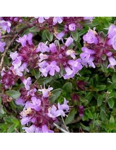 Thym Purple beauty