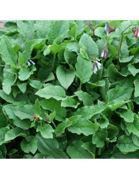 Consoude à grandes fleurs Hidcote pink