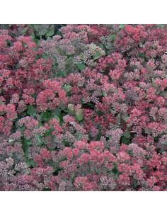 Orpin hybride Robustum