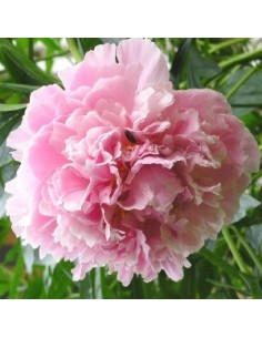 "Pivoine de Chine ""Shirley Temple"""