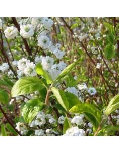 Spirée à feuilles de prunier Plena