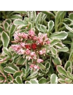 Orpin spurium variegatum