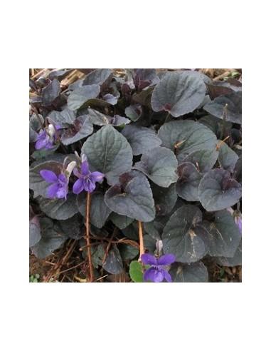 Violette du Labrador