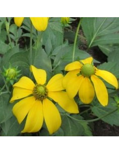 "Rudbeckia nitida ""Herbstsonne"""