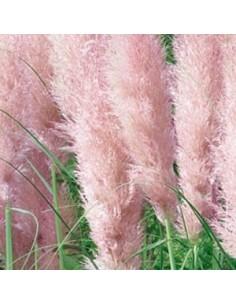 Herbe de la pampa rose