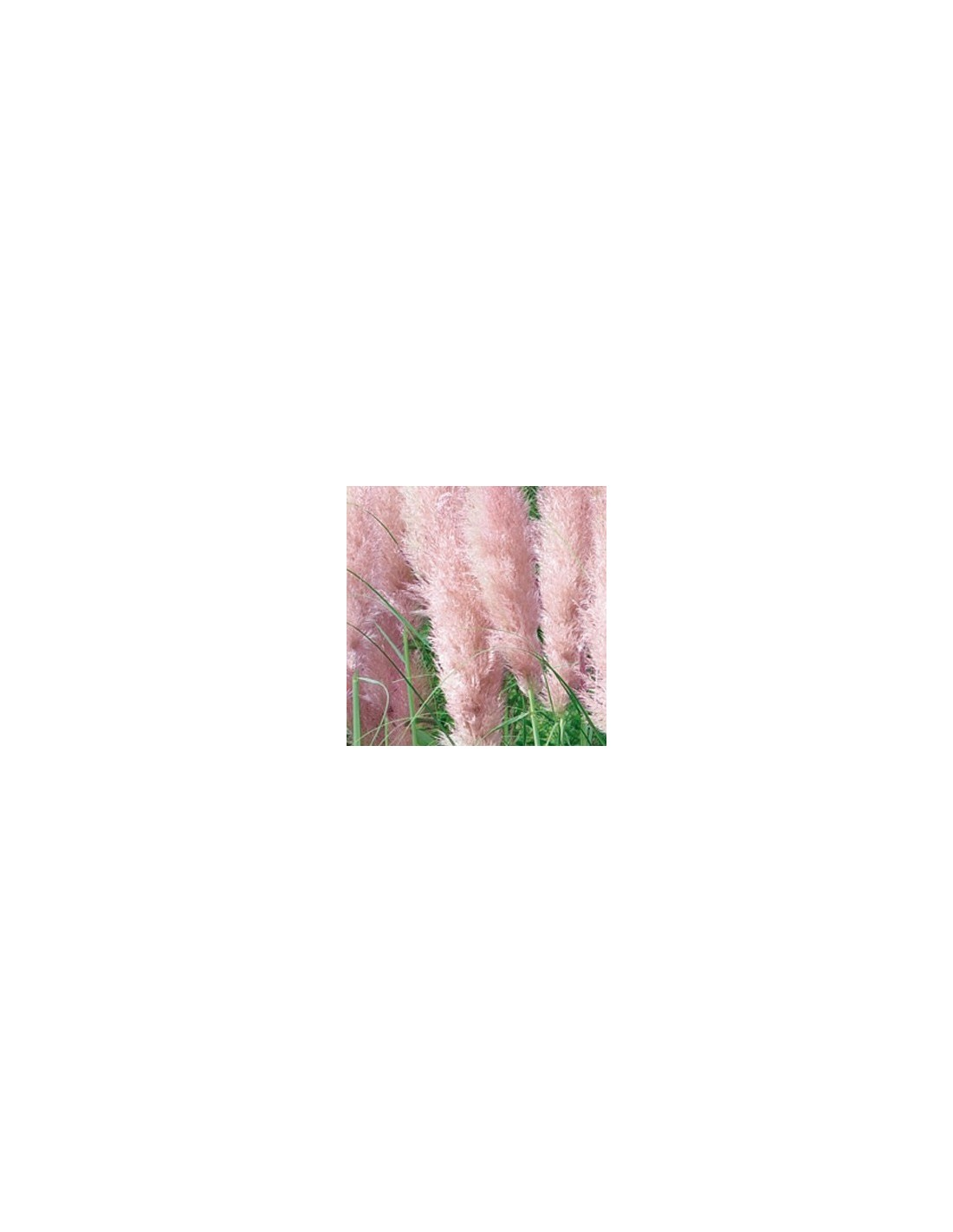 Herbe de la pampa rose les jardins d 39 hauti re - Herbe de la pampa prix ...