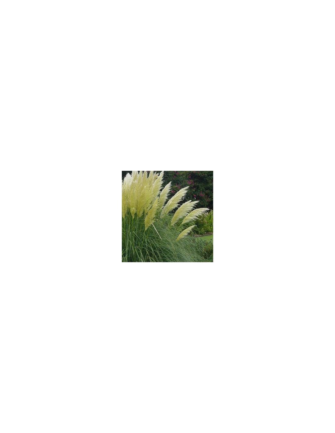 Herbe de la pampa les jardins d 39 hauti re - Herbe de la pampa prix ...