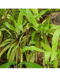 Laîche à feuilles de plantain