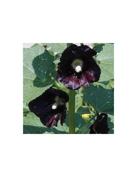 Rose trémière noire