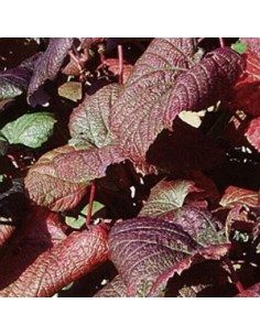 "Tellima grandiflora ""Rubra"""
