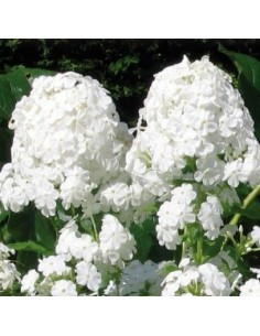 "Phlox paniculata ""White admiral"""