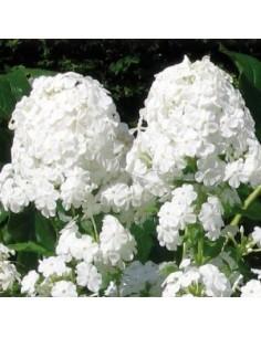 "Phlox paniculata ""White admiral"""