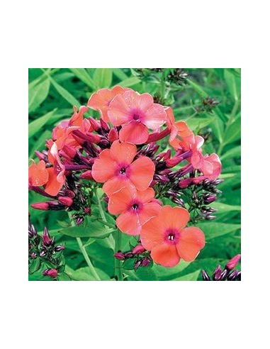 "Phlox paniculata ""Orange perfection"""