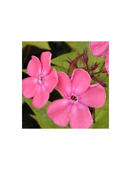 "Phlox paniculata ""Rijnstroom"""