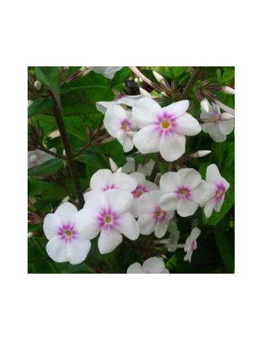 Phlox maculata omega