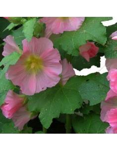 Rose trémière simplex