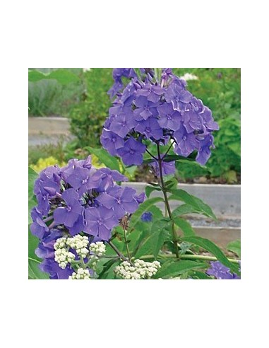 "Phlox paniculata ""Blue paradise"""